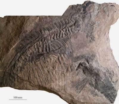 fosil-malawania-anachronus-